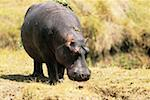 Hippopotamus (Hippopotamus amphibus), Masai Mara, Kenya, Africa Stock Photo - Premium Royalty-Free, Artist: Aurora Photos            , Code: 618-01409618