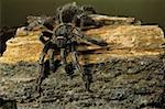 Stripe knee zebra tarantula (Aphonopelma seemanni), US to Costa Rica Stock Photo - Premium Royalty-Free, Artist: Minden Pictures, Code: 618-01409801