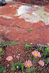 Close-up of wildflowers, red rock in background Stock Photo - Premium Royalty-Free, Artist: Minden Pictures, Code: 618-01419625