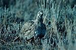 Sage grouse hen, North American upland game bird Stock Photo - Premium Royalty-Free, Artist: Aurora Photos            , Code: 618-01438162