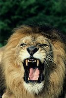roar lion head picture - Black-maned male African lion roaring, headshot, Africa Stock Photo - Premium Royalty-Freenull, Code: 618-01438285