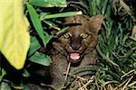 Jaguarundi (Felis yagouaroundi), close-up, Central or South America Stock Photo - Premium Royalty-Free, Artist: Theo Allofs, Code: 618-01438395