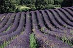 Lavendar fields, Provence, France (Close-up) Stock Photo - Premium Royalty-Freenull, Code: 618-01439269