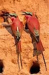 Carmine Bee Eaters Stock Photo - Premium Royalty-Free, Artist: Ken & Michelle Dyball, Code: 618-01456138