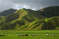 Farmland, King Country, North Island, New Zealand    Stock Photo - Premium Royalty-Freenull, Code: 600-01458311