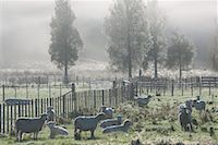 Sheep on Farmland, Te Kuiti Township, North Island, New Zealand    Stock Photo - Premium Royalty-Freenull, Code: 600-01458316