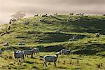 Sheep, Te Kuiti Township, New Zealand    Stock Photo - Premium Rights-Managed, Artist: Jochen Schlenker, Code: 700-01464036