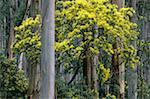 Australia, Victoria, silver wattle and mountain ash trees Stock Photo - Premium Royalty-Free, Artist: Minden Pictures, Code: 613-01477587