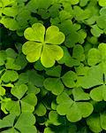 Four Leaf Clover Stock Photo - Premium Rights-Managed, Artist: Burazin, Code: 700-01571810