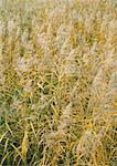 Tall grasses, full frame Stock Photo - Premium Royalty-Freenull, Code: 633-01572495