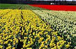 The Netherlands, South Holland, Keukenhof, field of daffodils Stock Photo - Premium Royalty-Freenull, Code: 610-01578718