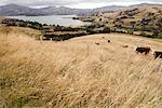 Cows in Field, Akaroa, Banks Peninsula, New Zealand    Stock Photo - Premium Rights-Managed, Artist: Lalove Benedict, Code: 700-01579483