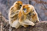Golden Monkeys Grooming, Qinling Mountains, Shaanxi Province, China