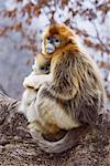 Mother and Young Golden Monkeys, Qinling Mountains, Shaanxi Province, China