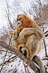 Golden Monkey Eating Branches, Qinling Mountains, Shaanxi Province, China
