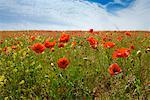 Poppy Field    Stock Photo - Premium Rights-Managed, Artist: Hugh Burden, Code: 700-01586073