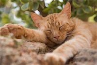 Sleeping Cat    Stock Photo - Premium Rights-Managednull, Code: 700-01587353