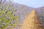 France, Provence, Valensole Plateau, lavender field Stock Photo - Premium Royalty-Freenull, Code: 610-01598752
