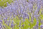 France, Provence, Valensole Plateau, lavender field Stock Photo - Premium Royalty-Freenull, Code: 610-01598754