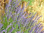 France, Provence, Valensole Plateau, lavender Stock Photo - Premium Royalty-Freenull, Code: 610-01598784