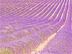 France, Provence, Valensole Plateau, lavender field Stock Photo - Premium Royalty-Freenull, Code: 610-01598790