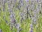 France, Provence, Valensole Plateau, lavender Stock Photo - Premium Royalty-Freenull, Code: 610-01598796