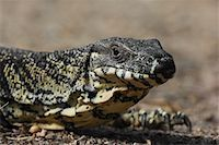 Close-up of a Goanna    Stock Photo - Premium Royalty-Freenull, Code: 600-01603969