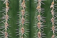 Cardon Cactus Needles    Stock Photo - Premium Royalty-Freenull, Code: 600-01607022