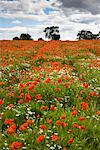 Field of Poppies    Stock Photo - Premium Rights-Managed, Artist: Tim Hurst, Code: 700-01617032