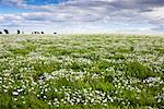 Field of Daisies    Stock Photo - Premium Rights-Managed, Artist: Tim Hurst, Code: 700-01617033