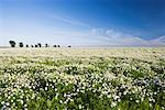 Field of Daisies    Stock Photo - Premium Rights-Managed, Artist: Tim Hurst, Code: 700-01617039