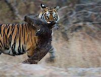 Tiger biting prey Stock Photo - Premium Royalty-Freenull, Code: 653-01658857
