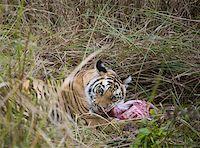 Tiger lying down in grass feeding on kill Stock Photo - Premium Royalty-Freenull, Code: 653-01658866