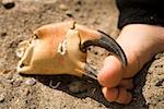 Crab claw pinching human foot Stock Photo - Premium Royalty-Free, Artist: Aflo Relax, Code: 653-01661523