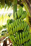 Bananas growing on a tree Stock Photo - Premium Royalty-Free, Artist: olovedog                      , Code: 653-01664332