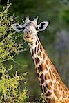 A giraffe eating from a tree Stock Photo - Premium Royalty-Free, Artist: Theo Allofs, Code: 653-01664426