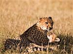 A cheetah with its cub Stock Photo - Premium Royalty-Free, Artist: AWL Images, Code: 653-01665113