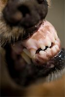 Close-up of a dog snarling Stock Photo - Premium Royalty-Freenull, Code: 653-01666233