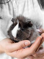 Close-up of Guinea Pig    Stock Photo - Premium Royalty-Freenull, Code: 600-01695282