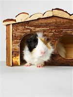 Guinea Pig    Stock Photo - Premium Royalty-Freenull, Code: 600-01695285