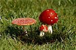 Fly agaric mushrooms growing in a field Stock Photo - Premium Royalty-Free, Artist: Raymond Forbes, Code: 653-01697471