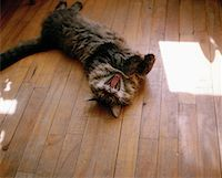 A cat yawning Stock Photo - Premium Royalty-Freenull, Code: 653-01698269