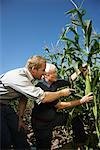 Men Checking Corn in Cornfield