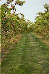 Peach Orchard, Niagara-on-the- Lake, Ontario, Canada    Stock Photo - Premium Rights-Managed, Artist: Michael Alberstat, Code: 700-01716282