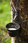 Tapping Rubber Trees    Stock Photo - Premium Rights-Managed, Artist: dk & dennie cody, Code: 700-01716725