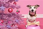 Jack Russell Terrier with Dog Bone next to Christmas Tree    Stock Photo - Premium Rights-Managed, Artist: Marie Blum, Code: 700-01716900