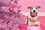 Jack Russell Terrier with Dog Bone next to Christmas Tree    Stock Photo - Premium Rights-Managed, Artist: Marie Blum, Code: 700-01716901