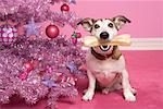 Dog with Bone Sitting next to Christmas Tree    Stock Photo - Premium Rights-Managed, Artist: Marie Blum, Code: 700-01716907