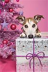 Jack Russell Terrier Leaning on Christmas Gift    Stock Photo - Premium Rights-Managed, Artist: Marie Blum, Code: 700-01716908