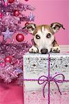 Jack Russell Terrier with Christmas Gift    Stock Photo - Premium Rights-Managed, Artist: Marie Blum, Code: 700-01716909